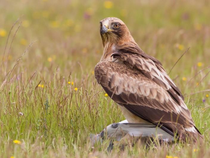 Hide del águila calzada