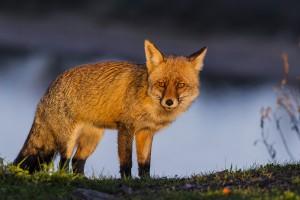 fox_franrojo_
