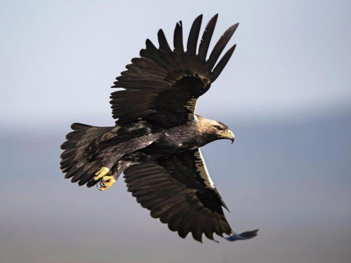 Hide del Águila Imperial Ibérica