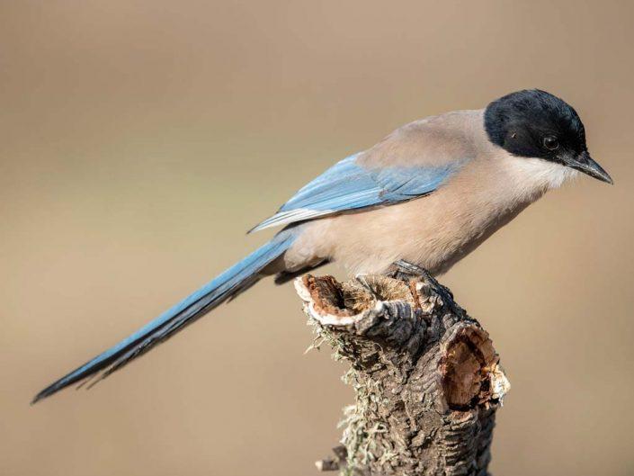 Hide of the Common Buzzard / Blue Magpie